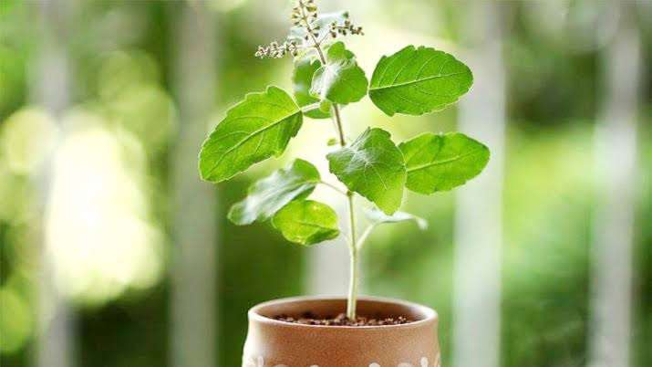 घर में लगाना क्यों जरूरी है तुलसी का पौधा, जानें इसके पीछे का धार्मिक और  वैज्ञानिक महत्व